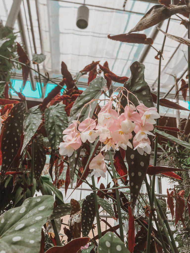 pink and white spotted leaf plants atlanta botanical garden