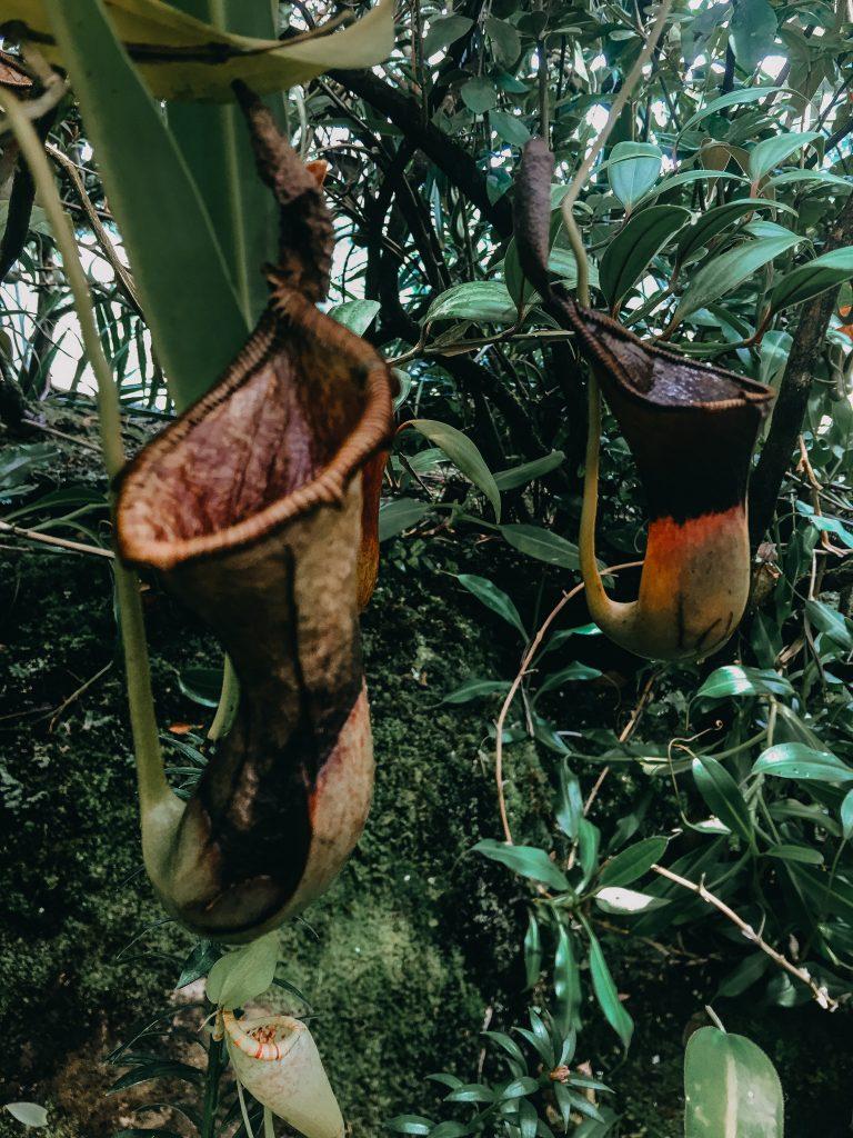 pitcher plant at the atlanta botanical garden