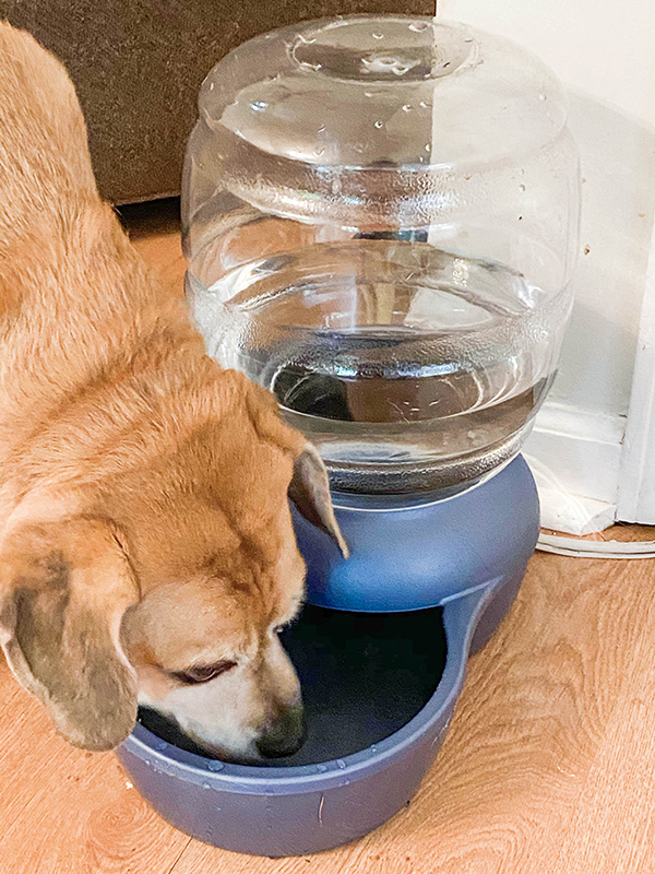 puggle drinks out of a gravity auto-refilling water dish